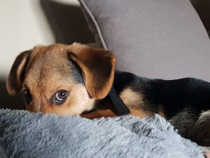 Brining a New Puppy Into Your Home